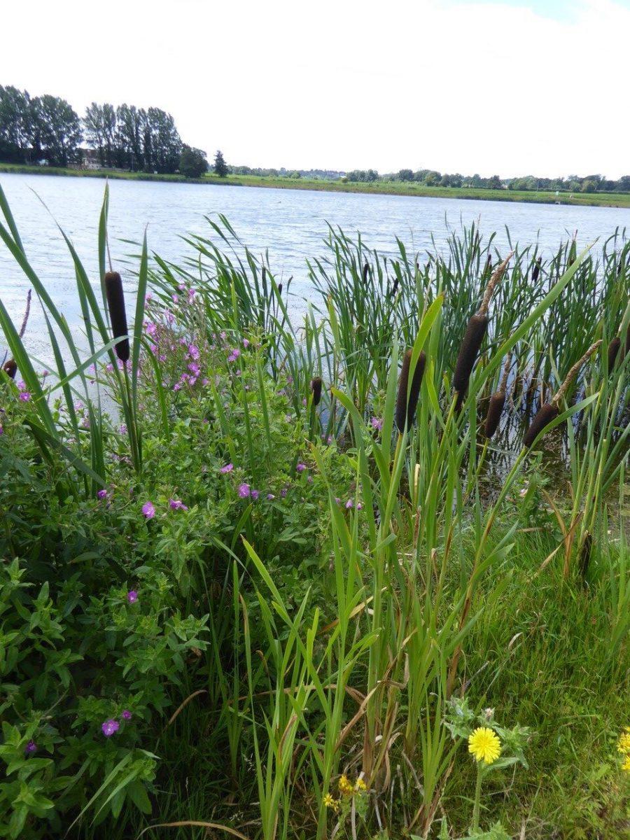 Great Willowherb (Epilobium hirsutum), Amazon Lakes (i port), Doncaster