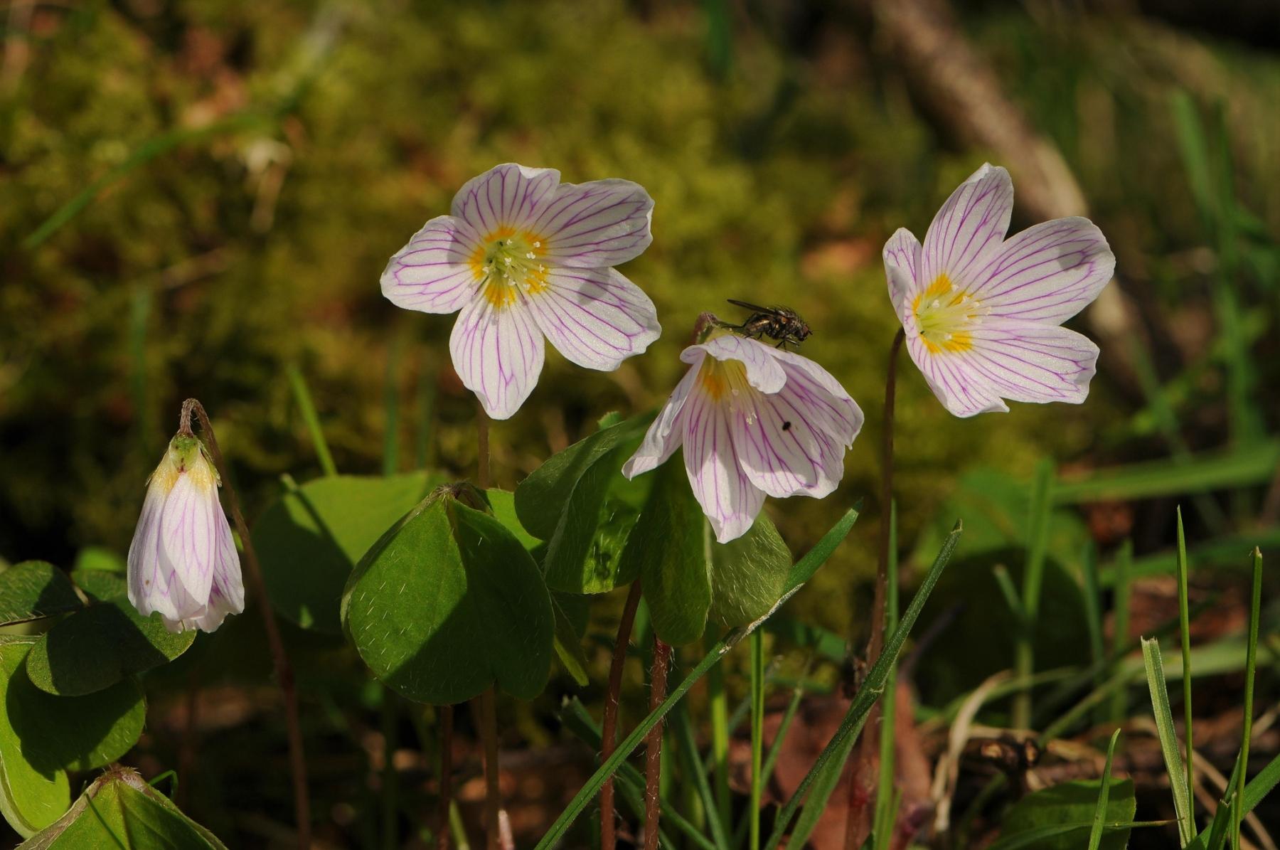 Wood Sorrel (Oxalis acetosella), Barrow Hills NR, Notts.