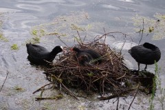 Coot (Fulica atra), Lakeside, Doncaster.
