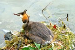 Great Crested Grebe (Podiceps cristatus), Lakeside, Doncaster.