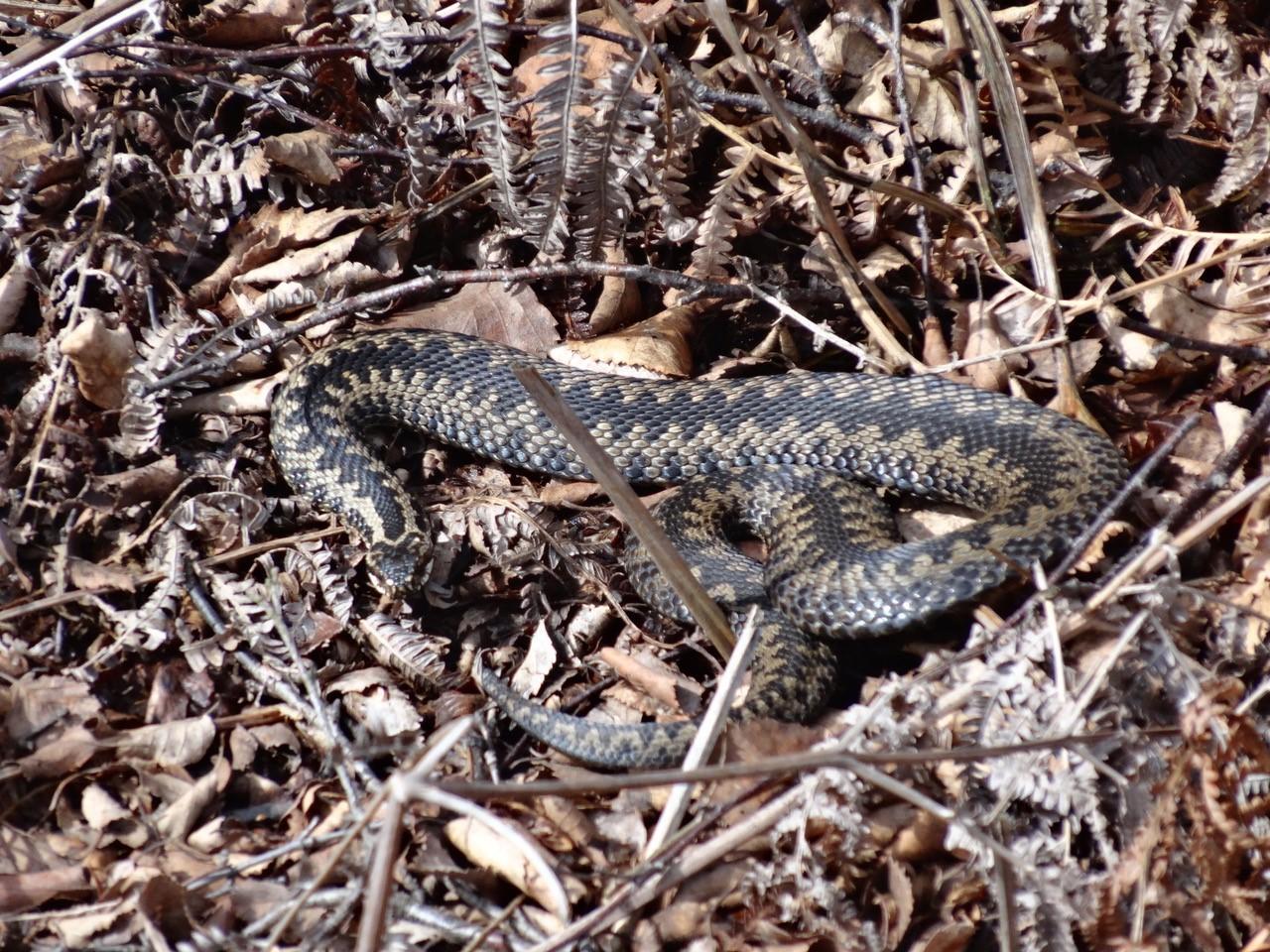 Common European Adder (Vipera berus), Hatfield Moor.