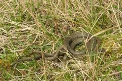 Grass Snake (Natrix natrix), Lindrick Common.