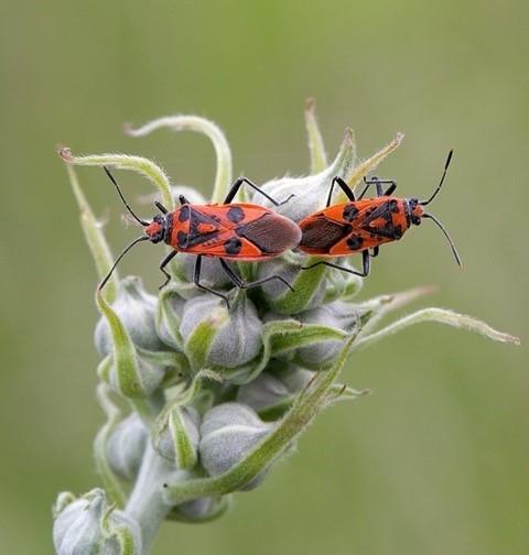 Corizus hyoscyami - Cinnamon Bug, Woodside Nurseries, Austerfield.