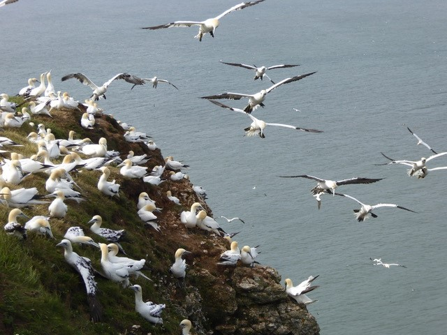 A busy Gannet colony, Bempton Cliffs
