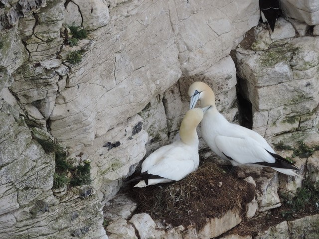 Gannets head preening, Bempton Cliffs