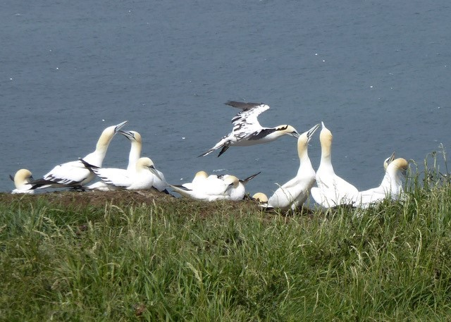 A third year juvenile in flight, two 4th year juveniles on the left and adults bill fencing on the right.