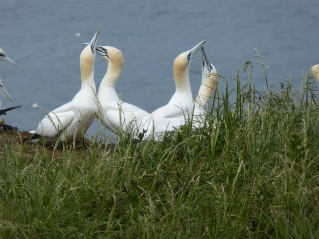 Gannets greeting ritual. Bempton Cliffs