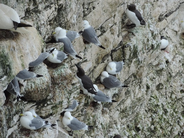 Kittiwakes nesting at Bempton Cliffs