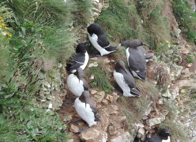 Razorbills at Bempton Cliffs