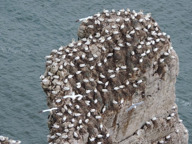 Gannets nesting on the surface of the rocks, Bempton Cliffs