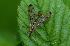 Panorpa cognata -  Scorpion Fly, Lound.
