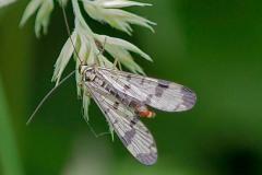 Panorpa communis - Scorpion Fly, Thorne Moor.