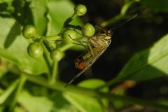 Panorpa communis - Scorpion Fly.