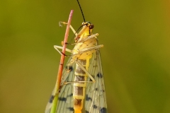 Panorpa sp. - Scorpion Fly (female), Bevercotes.