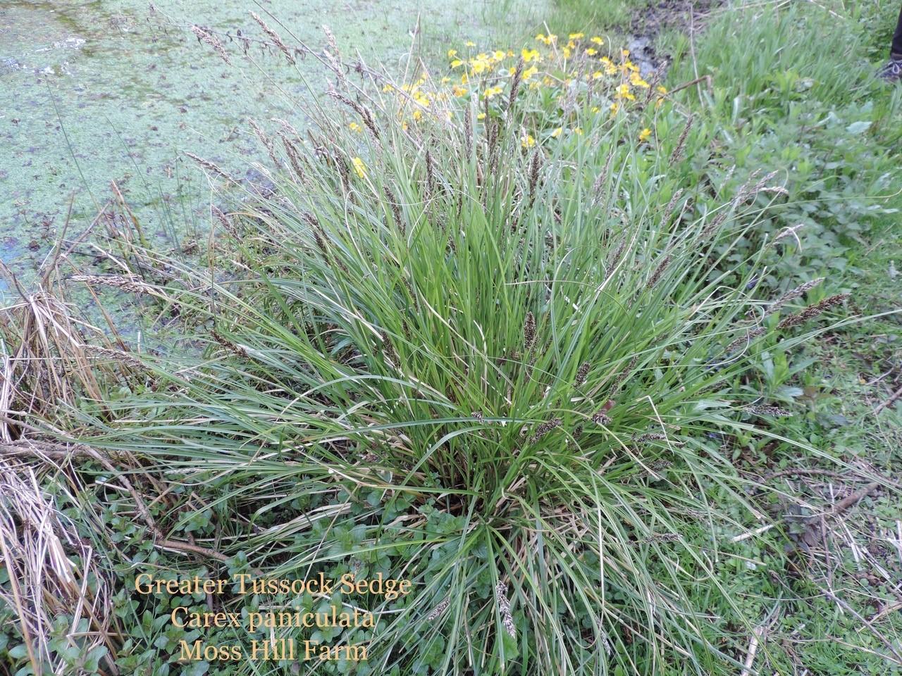 Greater Tussock Sedge (Carex paniculata), Moss Hill Farm