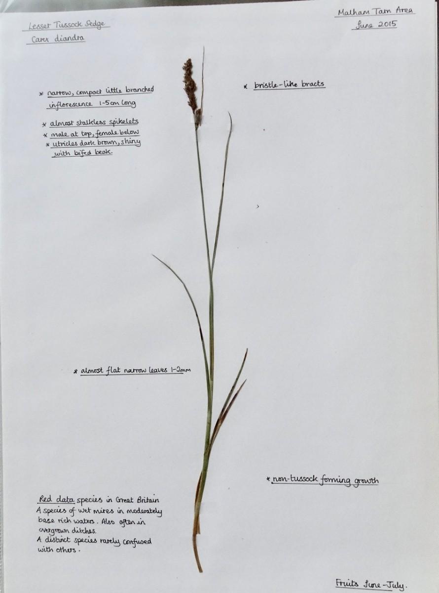 Lesser Tussock sedge (Carex diandra), Malham Tarn
