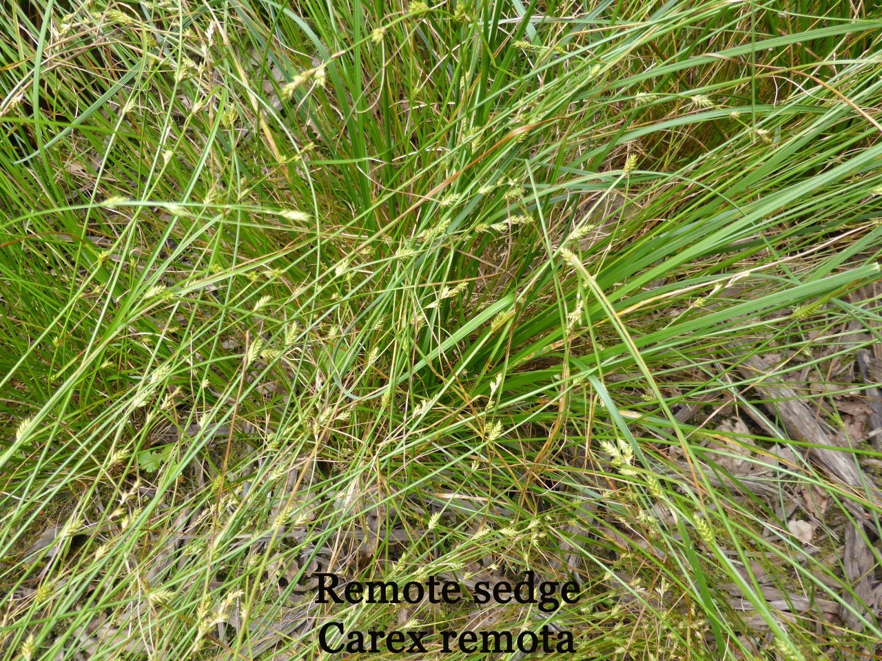 Remote Sedge (Carex remota).