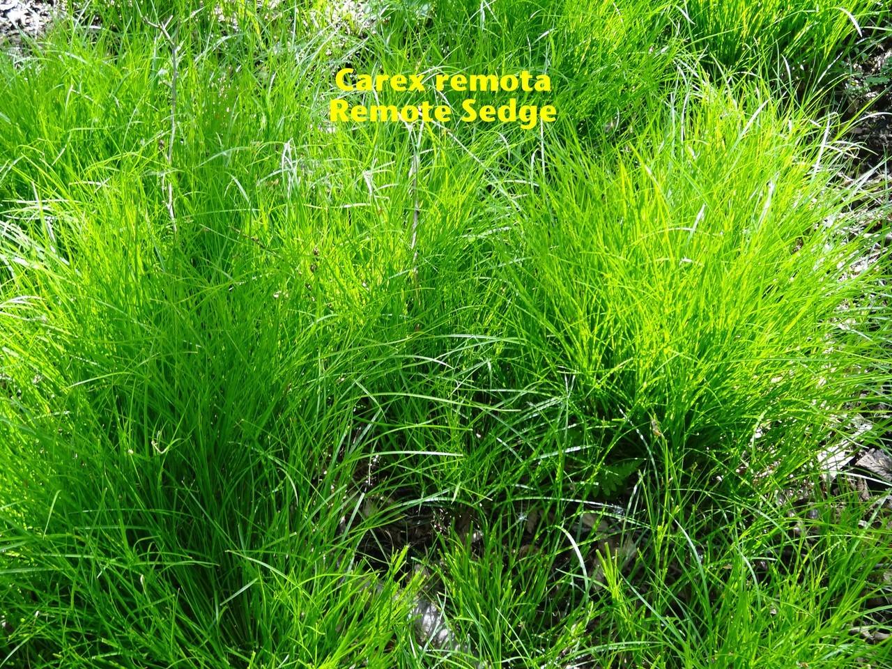 Remote Sedge (Carex remota).