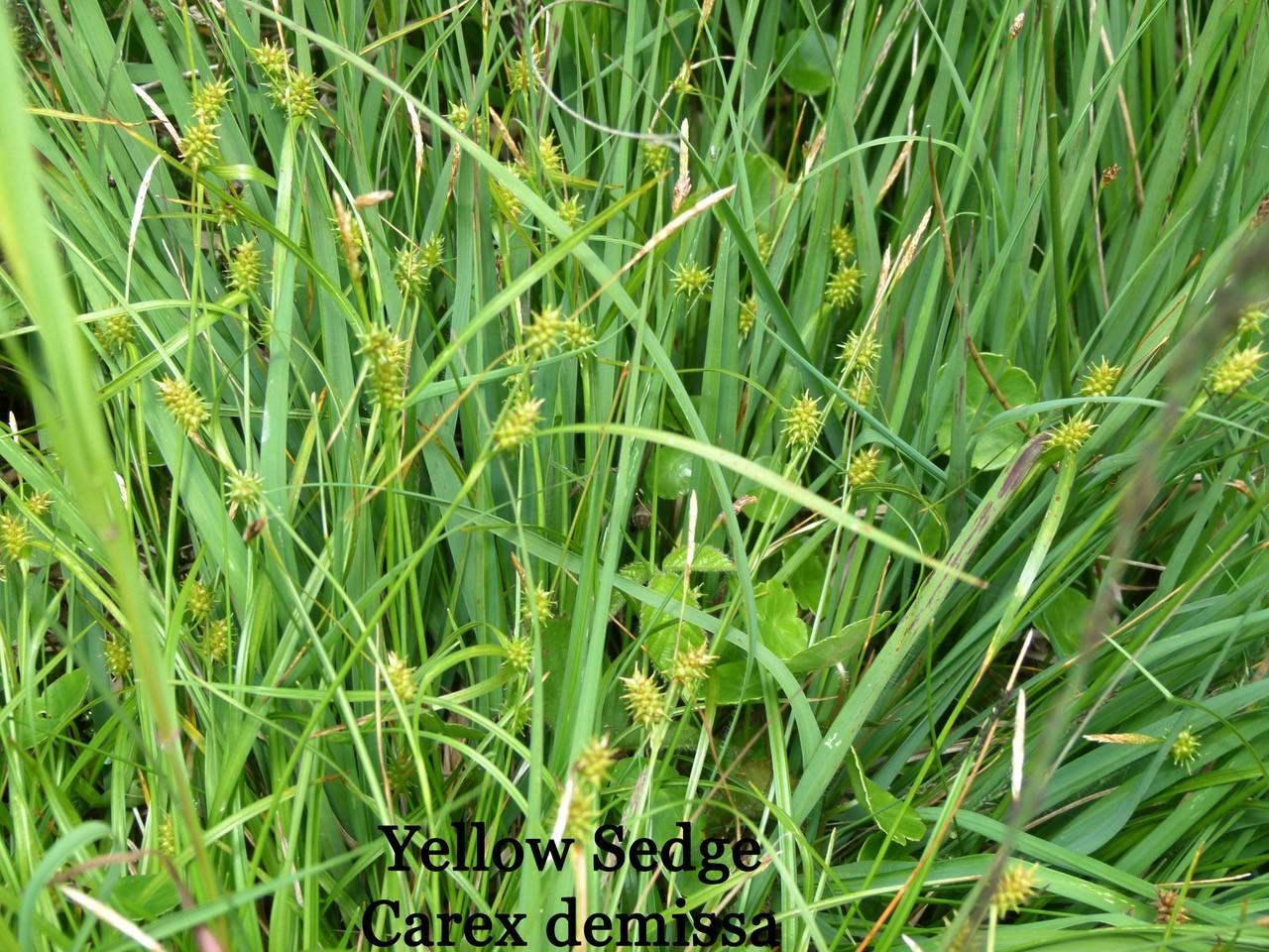 Yellow Sedge (Carex demissa), Malham