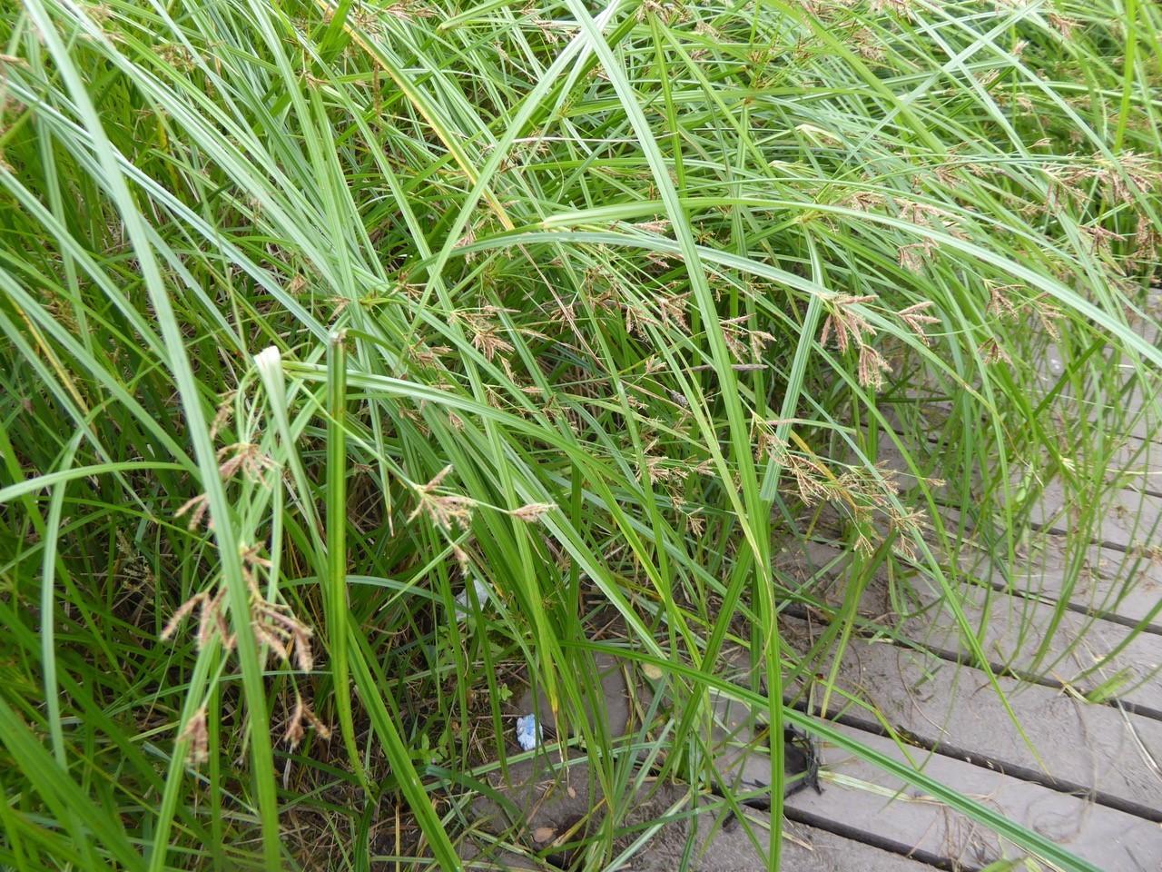 Galingale (Cyperus longus), Old Moor