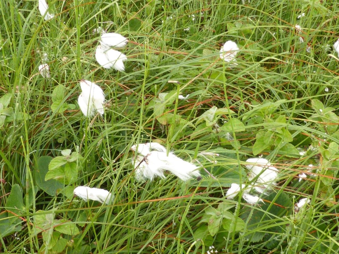 Common Cotton Sedge (Eriophorum angustifolium), Malham