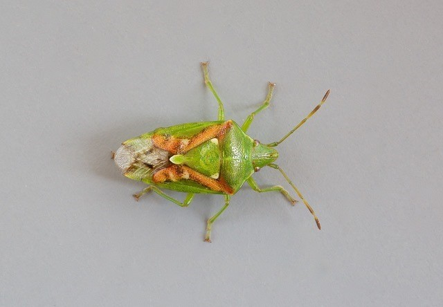Cyphostethus tristriatus -  Juniper Shieldbug, Woodside Nurseries, Austerfield