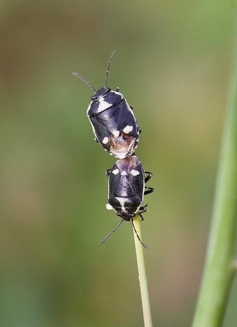 Eurydema oleracea - Crucifer Shieldbugs, Woodside Nurseries, Austerfield