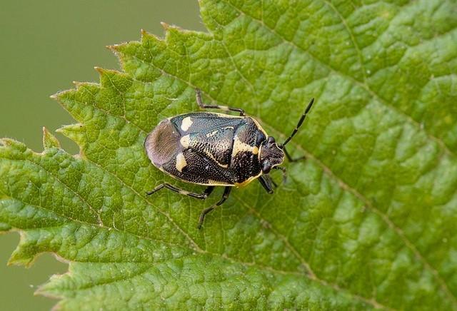 Eurydema oleracea - Crucifer or Brassica Shieldbug, Woodside Nurseries, Austerfield.