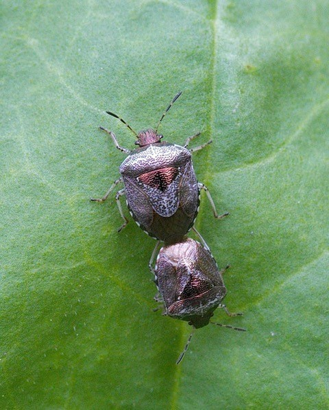 Eysarcoris venustissimus - Woundwort Shieldbug., Woodside Nurseries, Austerfield.