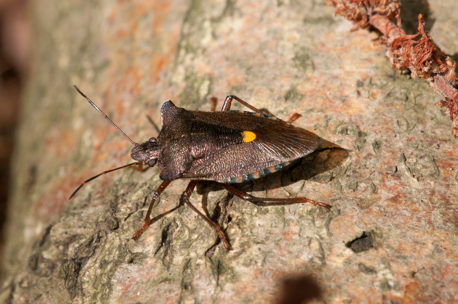 Pentatoma rufipes - Forest Bug, Danes Hill NR