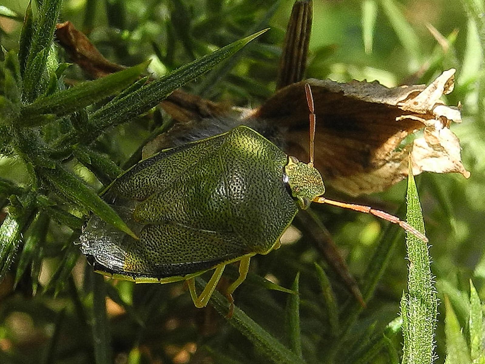 Piezodorus lituratus - Gorse Shieldbug, Lindrick