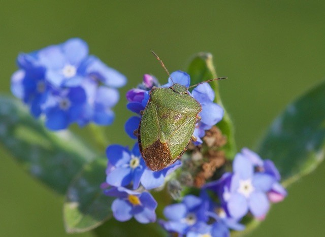 Palomena prasina - Green Shieldbug, Woodside Nurseries, Austerfield.
