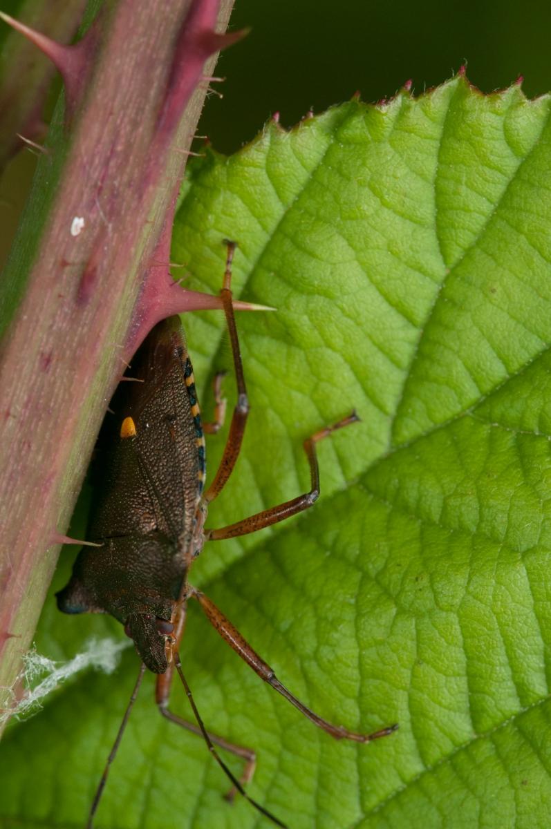 Pentatoma rufipes - Red-legged Shieldbug, Anston Stones