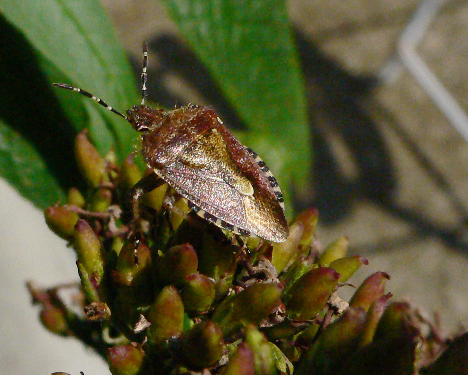 Dolycoris baccarum - Hairy Shieldbug