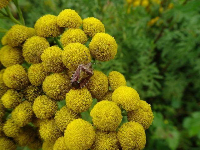 Dolycoris baccarum - Sloe Shieldbug,