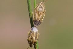 Aelia acuminata - Bishop's Mitre Shieldbug, Woodside Nurseries, Austerfield