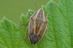 Aelia acuminata - Bishop's Mitre Shieldbug, Woodside Nurseries, Austerfield.