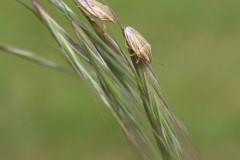Aelia acuminata - Bishop's Mitre Shieldbugs, Woodside Nurseries, Austerfield.
