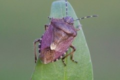 Dolycoris baccarum - Hairy Shieldbug, Woodside Nurseries, Austerfield.