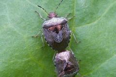 Eysarcoris venustissimus - Woundwort Shieldbug., Woodside Nurseries, Austerfield.