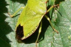Palomena prasina - Green Shieldbug, Lindrick