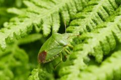 Palomena prasina - Green Shieldbug