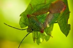 Acnanthosoma haemorrhoidale - Hawthorn Shieldbug, Sherwood
