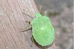Palomena prasina - Common Green Shieldbug (5th instar), Cusworth Lane, Doncaster