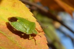 Palomena prasina - Common Green Shieldbug ,Brodsworth Hall Doncaster