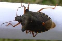 Pentatoma rufipes  - Red-legged Shieldbug, Cusworth Hall & Park