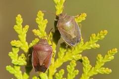 Piezodorus lituratus - Gorse Shieldbug, Woodside Nurseries, Austerfield.