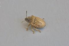 Podops inuncta - Turtle Shieldbug, Woodside Nurseries, Austerfield.
