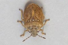 Podops inuncta - Turtle Shieldbug, Woodside Nurseries, Austerfield