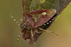 Dolycoris baccarum - Hairy Shieldbug